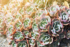 Echeveria elegans, Mexican snow ball, Mexican gem, white Mexican. Echeveria elegans is a succulent evergreen perennial with tight rosettes of pale green-blue royalty free stock photography
