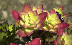 Echeveria Elegans - Succulent. Close Up Detail of Some Echeveria Elegans - Succulent. Bugs inside Royalty Free Stock Photos