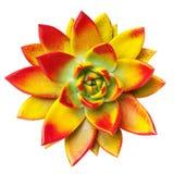Echeveria flower Stock Photo