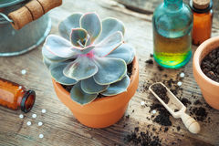 Echeveria in flower pot and homeopathic remedies. Stock Photos