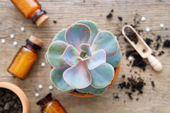Echeveria in flowerpot and homeopathic remedies for plant and crops. Royalty Free Stock Images