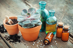 Echeveria in flowerpot and homeopathic remedies for plant. Stock Image