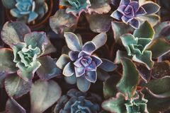 Echeveria flowers Stock Photography
