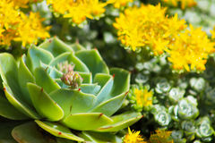 Echeveria in foreground with sedums. Echeveria in foreground with yellow flowering sedums stock image