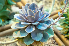 Echeveria glance plant Royalty Free Stock Photo