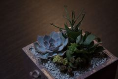 Succulents composition in square container on dark wooden background stock photo