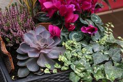 Echeveria. Is a large genus of flowering plants in the Crassulaceae family royalty free stock photos