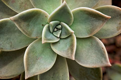 Echeveria Lilacina. Green flower blooming stock photography
