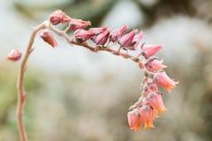 echeveria lilicana开花的花  免版税库存照片