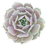 Echeveria Lola Succulent Image stock