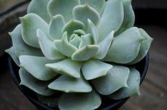 Echeveria Lola Succulent Plant imagen de archivo