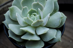 Echeveria Lola Succulent Plant Stock Afbeelding