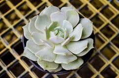 Echeveria Lola Tłustoszowata roślina Zdjęcie Stock