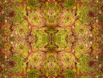 Echeveria longissima abstrakt 1 Zdjęcie Stock
