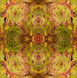 Echeveria longissima abstrakt 2 Obraz Stock