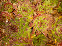 Echeveria longissima background Royalty Free Stock Photography