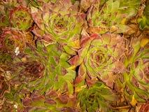 Echeveria longissima tło Fotografia Royalty Free