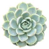Echeveria Marazine Succulent. Isolated from background royalty free stock photos