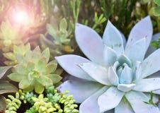 Echeveria & x28; Miniatuur succulente plants& x29; royalty-vrije stock afbeeldingen