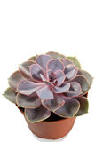 Echeveria-Mischung im Topf - Blätter Lizenzfreies Stockbild