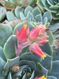 Echeveria in nature royalty free stock photo