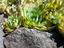 Echeveria o pietra Rosa - piante del giardino ornamentale Fotografia Stock Libera da Diritti