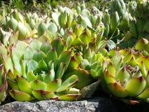 Echeveria ornamental garden plants stock image