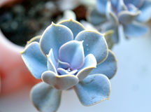 Echeveria Perle von Nurnberg Stockfotografie