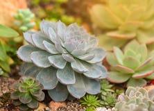 Echeveria Perle von Nurnberg Stockbild
