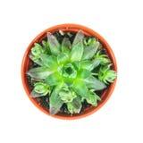 Echeveria, pianta dei succulenti in vaso su fondo bianco, overhea Immagine Stock Libera da Diritti