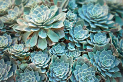Echeveria plant Royalty Free Stock Photos