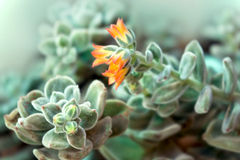 Echeveria Plant Flowering Royalty Free Stock Image