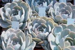 Echeveria, plantas suculentos com etiqueta em um berçário Imagens de Stock