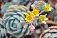 Echeveria plants in bloom Stock Images