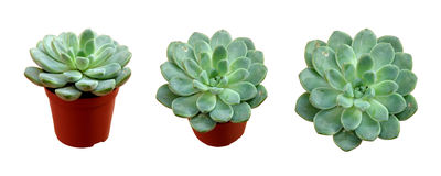 Echeveria pulidonis. Echeveria pot plant isolated with tree look position stock image