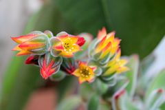 Echeveria pulvinata  flowers macro Stock Photos