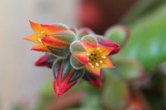 Echeveria pulvinata  flowers macro Stock Images