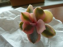 Echeveria rainbow stock images