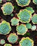 Echeveria roślina Zdjęcie Royalty Free