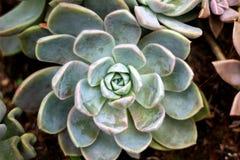 Echeveria - roses en pierre Photo stock