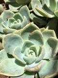 Echeveria Stock Photos