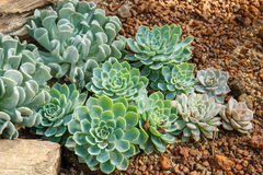 Echeveria rosettes Royalty Free Stock Images