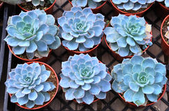 Echeveria runyonii Rose v macabeana Stock Photos