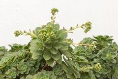 Echeveria Secunda en la floración Imágenes de archivo libres de regalías
