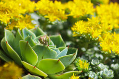 Echeveria with sedum in background. Echeveria plant with yellow flowering sedum and other succulents in background stock images