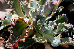 Echeveria shaviana 'Pink Frills', Mexican Hens and Chicks Stock Photography