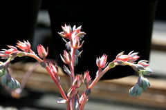 Echeveria shaviana 'Pink Frills', Mexican Hens and Chicks Royalty Free Stock Images