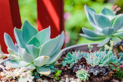 Echeveria succulent desert plant cactus decorative close up Royalty Free Stock Images