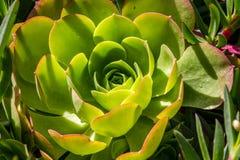 Echeveria succulent, plant forms a rosette leaves Stock Images