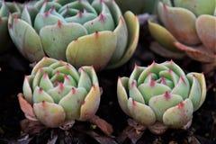 Echeveria. Succulent plant originating in Mexico `Echeveria stock photos